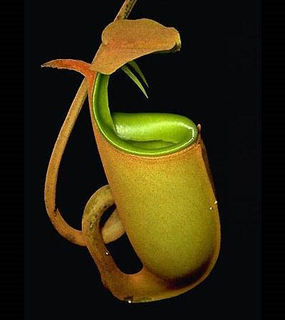 Непентес двушпорный bicalcarata