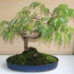 Тамаринд bonsai