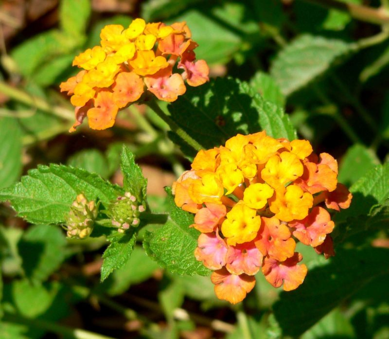 Lantana spreading sunset
