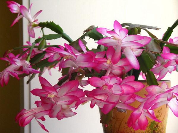 цветение декабриста