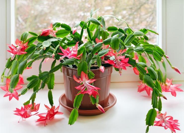 Зигокактус цветение