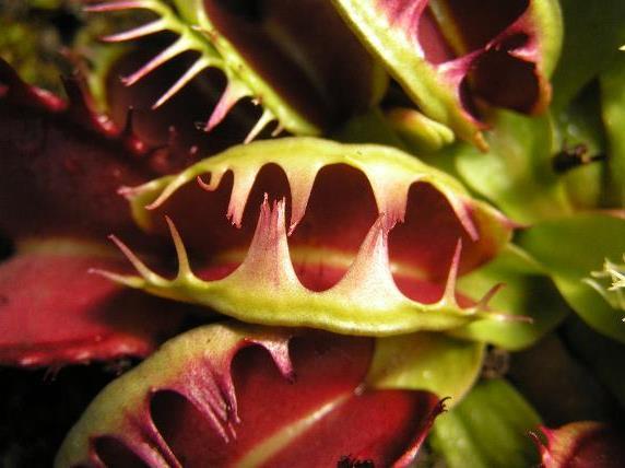 Венерина мухоловка Fused tooth