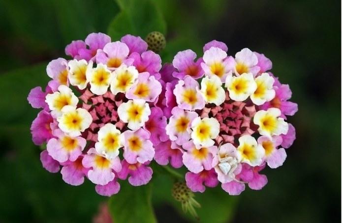 Лантана (Lantana) фото цветов