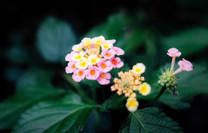 Цветок лантана выращивание уход фото