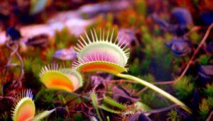 venus flytrap photo