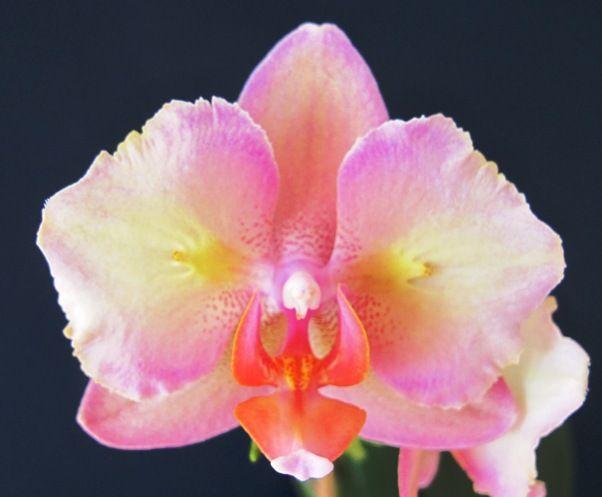 Phalaenopsis Bubble Gum
