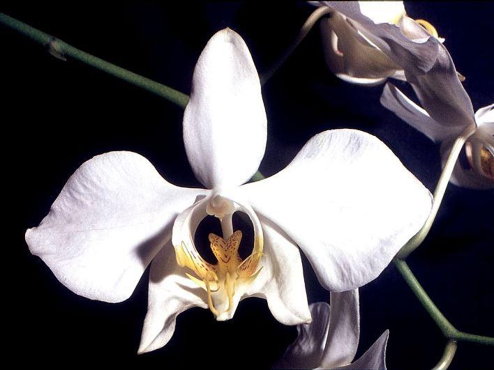 Фаленопсис Приятный (Амабилис)