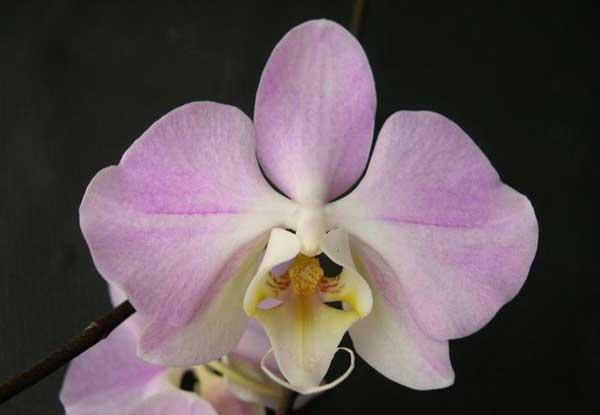 Фаленопсис Сандера (phalaenopsis Sanderiana)