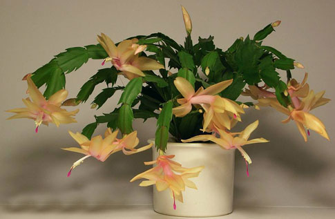 Schlumbergera cambridge