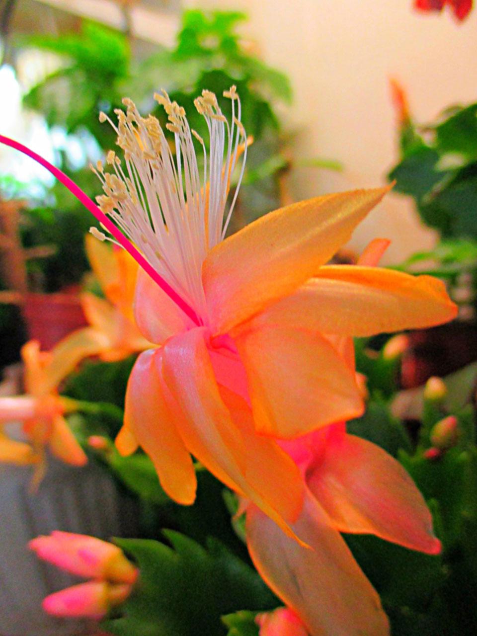 Schlumbergera Twilight Tangerine