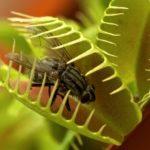 Мухоловка растение посадка семенами в домашних условиях