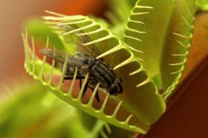 Венерина мухоловка уход фото