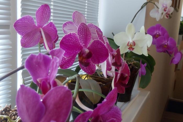 Орхидея Фаленопсис на подоконнике