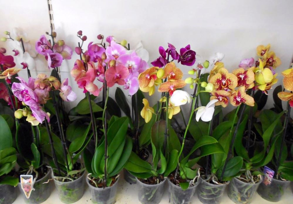 Орхидея Фаленопсис в магазине