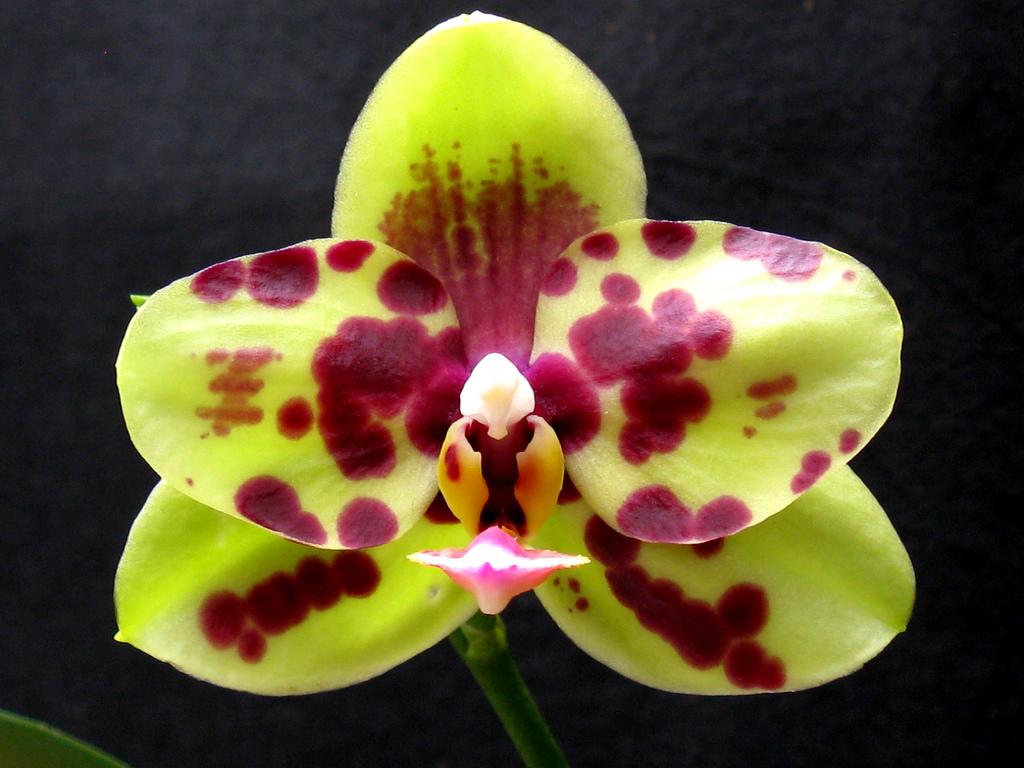Фаленопсис Арлекин