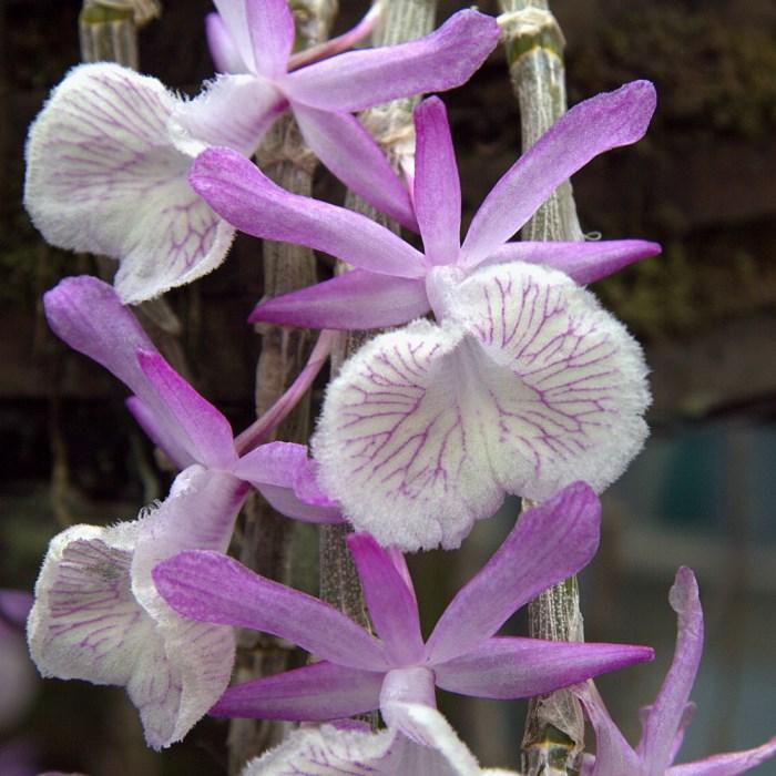 Дендробиум Первоцветный