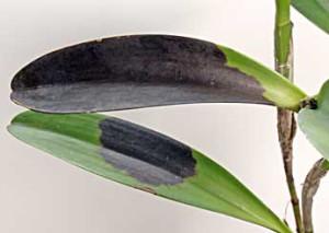 Черная гниль на орхидее Фаленопсис