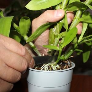 Деление розетки орхидеи Фаленопсис