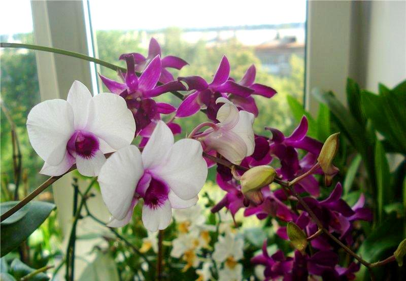 орхидея Дендробиум в период цветения
