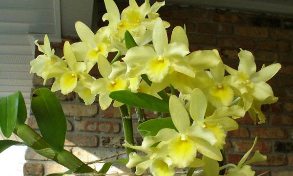 Температура выращивания орхидеи Дендробиум