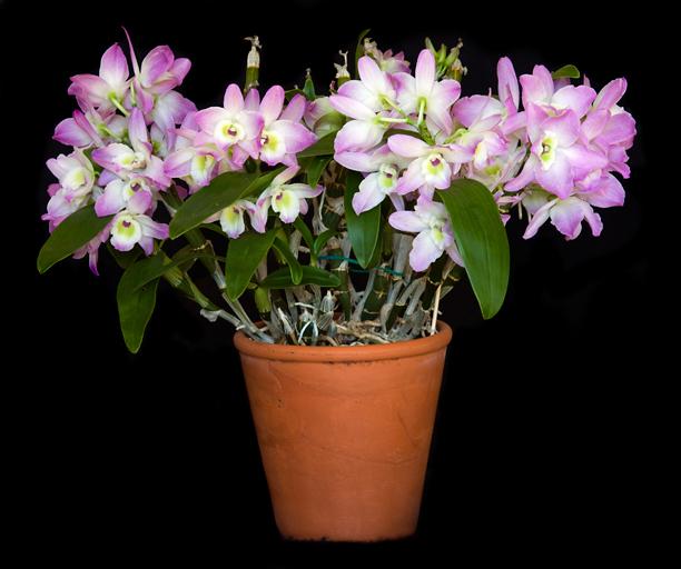 Dendrobium Himezakura
