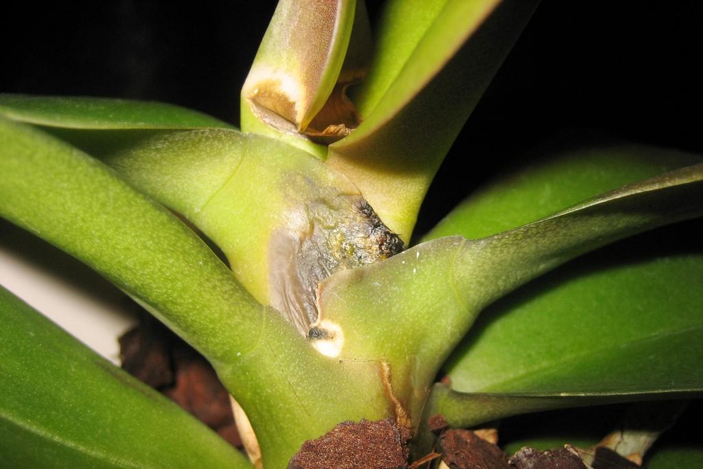 Фузариоз на орхидее Фаленопсис