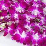 Орхидея Дендробиум Нобиле: Уход, Размножение