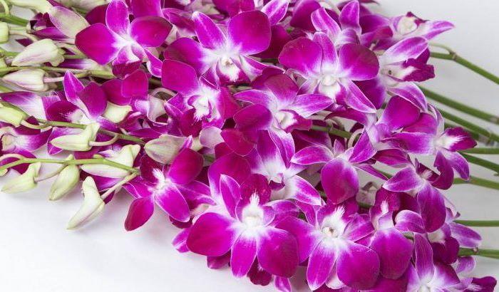 дендробиум орхидеи уход и размножение в домашних условиях фото