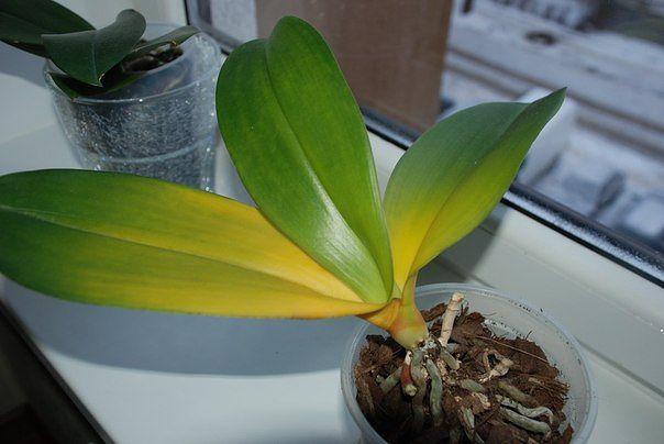 Почему жделтеют листья у орхидеи Фаленопсис