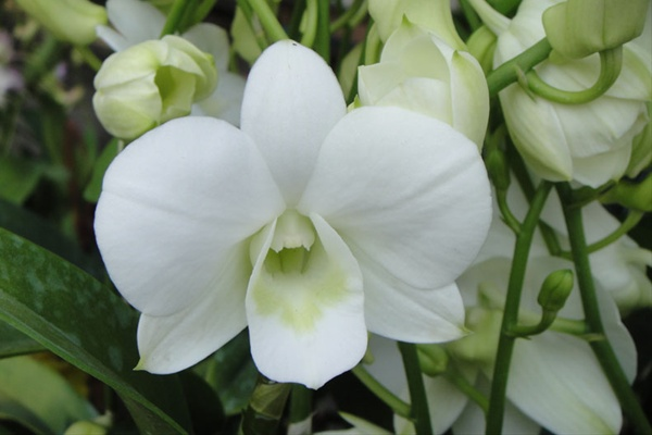 Dendrobium Snow White