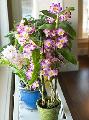 Орхидея Дендробиум на столе
