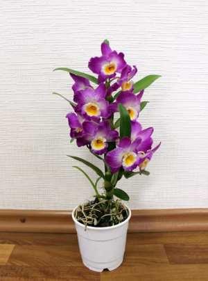 Орхидея Дендробиум на полу
