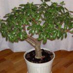 Денежное дерево описание растения