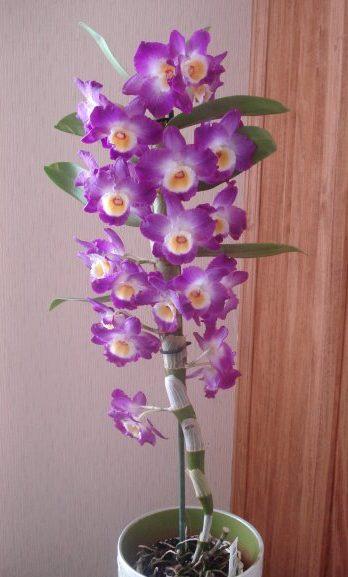 Цветонос орхидеи Дендробиум Нобиле