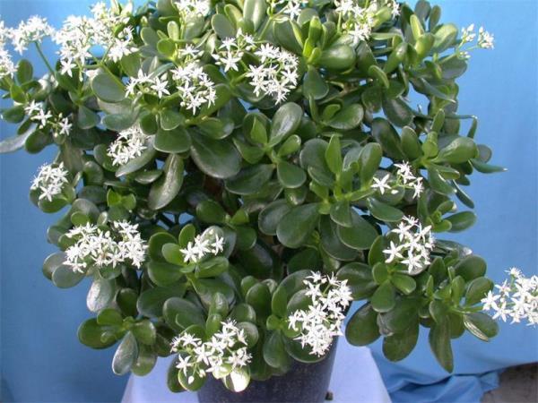 Как цветет денежное дерево фото