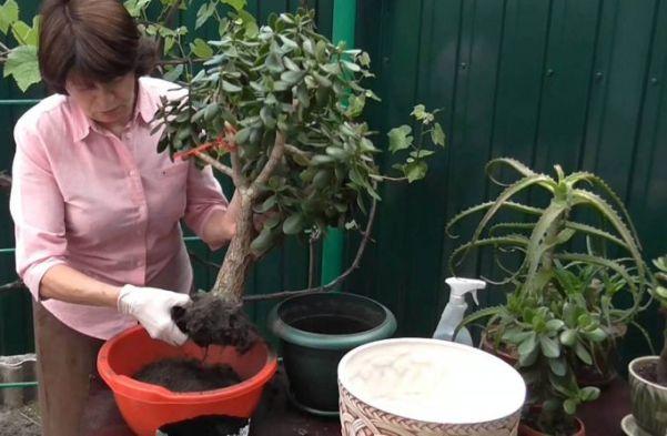 Пересадка Денежного дерева