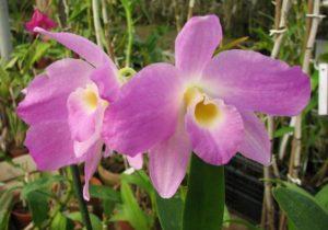 Орхидея Дендробиум Нобиле фото