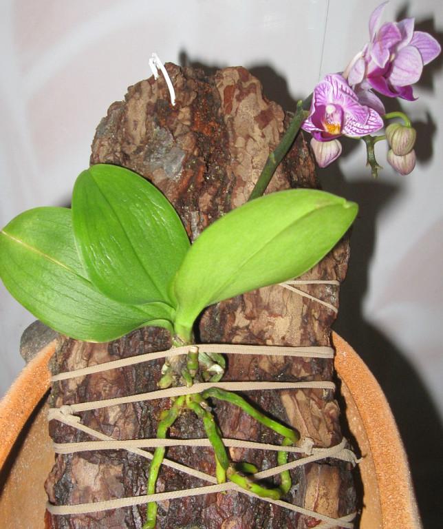 Выращивание орхидеи на блоке