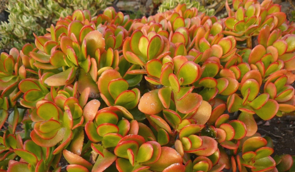 Crassula Ovata Hummelf Sunset