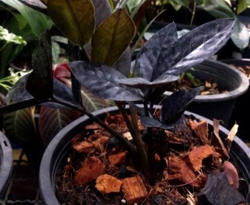 Замиокулькас Темно-пурпурный