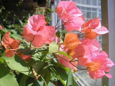 Сорт Бугенвиллии Bois De Roses