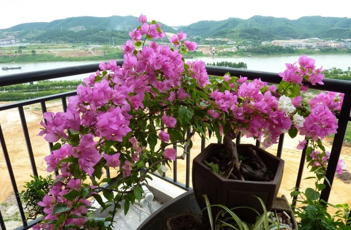 Бугенвиллия на балконе