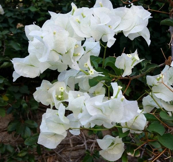 Baugainvillia Jamaica White