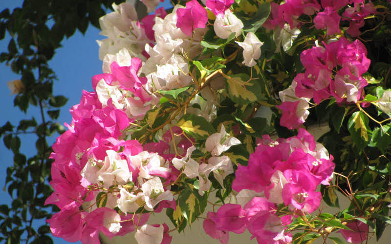 Bougainvillea Mary Palmer