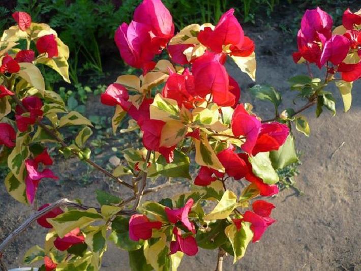 Бугенвиллия San Diego Red Variegata