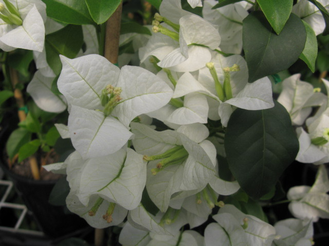 Бугенвиллия White Cascade