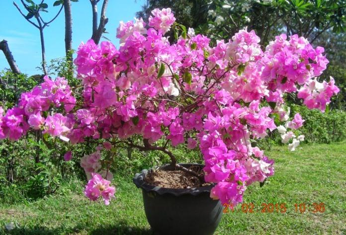 Цветение Бугенвиллии