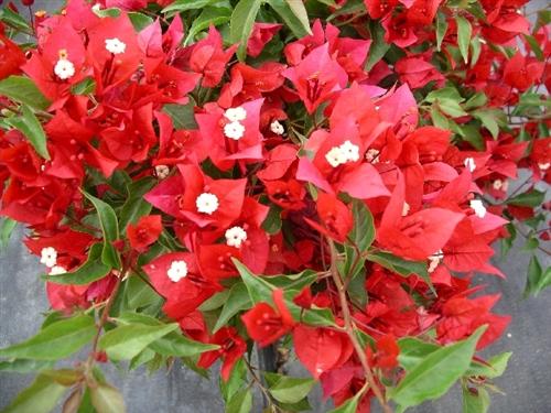 Бугенвиллия Tomato Red