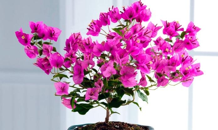 цветок бугенвиллия фото