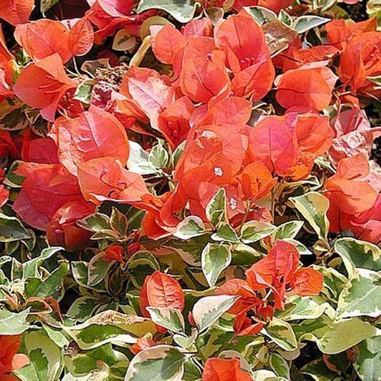 Бугенвиллия Orange Ice
